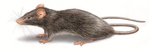 rats pest control perth
