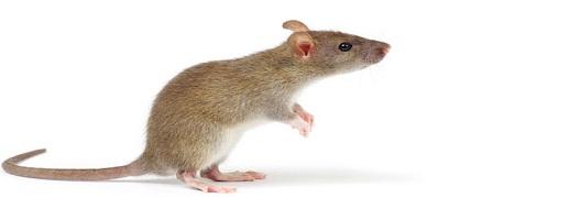 rats control solutions