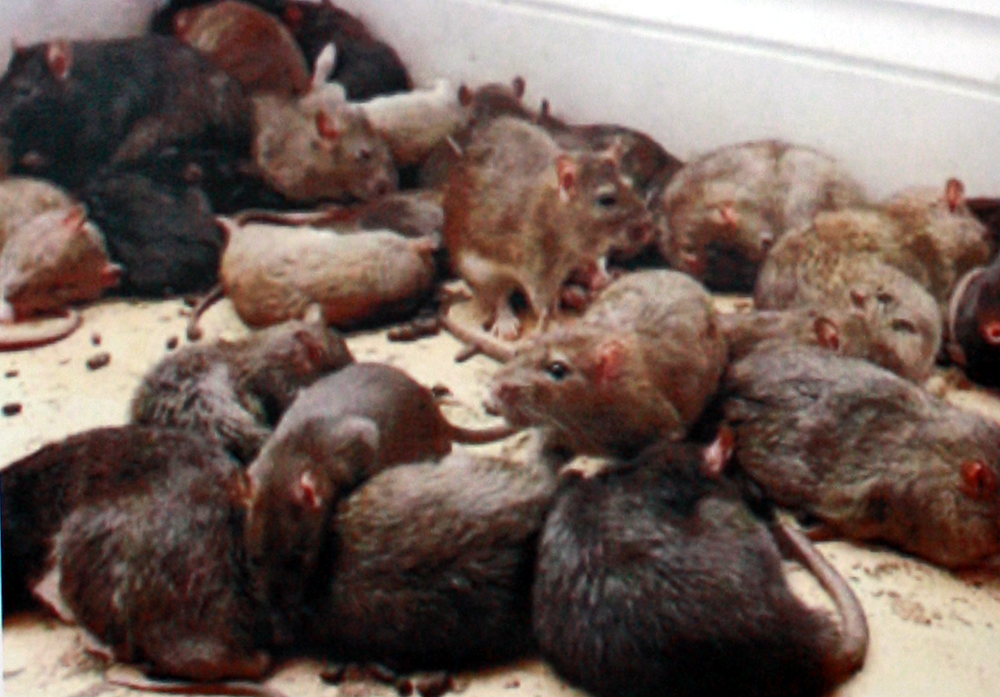 Rodent Pest Control Perth